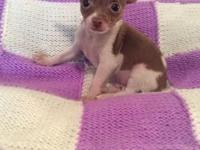 Jake is a double registered (AKC/CKC) Tiny Male