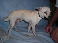 Chihuahua - Little Louie - Small - Baby - Male - Dog
