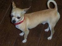 Chihuahua - Little Man/peanut - Small - Young - Male -