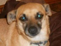 Chihuahua - Lola - Small - Adult - Female - Dog Lola is