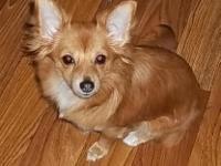 Beautiful red, long coat Chihuahua. Female Chihuahua.
