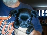 Chihuahua long coat male CKC signed up $400.00, ready