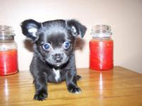 Chihuahua long coat young puppy situated in Union City,
