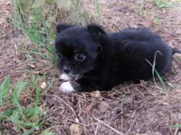 Chihuahua CKC Puppy. Longcoat, black and tan female.