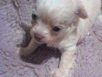 Beautiful Long Coat 6 wk old female pup... Loves