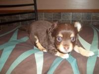 Male long coat Chihuahua ckc registered chocolate with