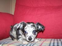 CKC Long coated Chihuahuas standard size , Mom is a