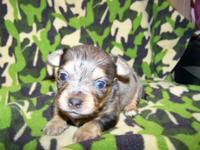 Chihuahua long coat puppies now taking $150.00 non