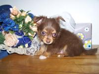 Chihuahua long coat's located in Union City, Michigan,