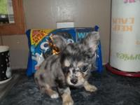 Chihuahua long coat T-cup puppy, 1 blue merle male