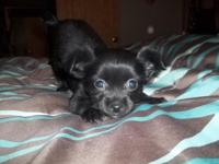 T -cup size Chihuahua long coat male CKC signed up