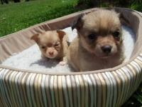 This adorable male long-hair Chihuahua was born on