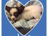 Leo & Milo are full AKC reg male long hair Chihuahuas.
