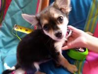 Blake is an 11 week old, Male chihuahua, with Long