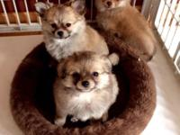 3 Sweet Female Chihuahua/ Pomeranian puppies. Household