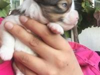 4 week old AKC Stunning merle tan with White Markings