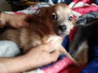 7 month old longhaired male chihuahua. Beautiful