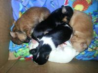 Long coat Chihuahua pups. I'm takn names down that are