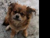 Chihuahua - Lt Little Dog Dan - Small - Young - Male -