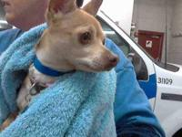 Chihuahua - Lucy - Small - Adult - Female - Dog This is