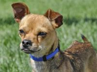 Chihuahua - Luke - Small - Adult - Male - Dog Luke is
