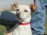 Chihuahua - Lydia - Small - Adult - Female - Dog