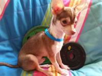 Rudolph is a 4 mo male chihuahua , with short hair. He