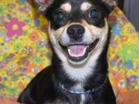 Chihuahua - Macintosh - Small - Adult - Male - Dog Meet