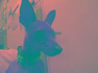 Chihuahua - Maisey - Small - Adult - Female - Dog ***