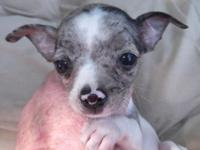 Here is a beautiful male Chihuahua puppy, a blue merle