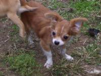 Chihuahua male, 14 months old, longhaired, CKC, UTD on