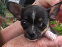 Here is a really cute, small male Chihuahua puppy. He