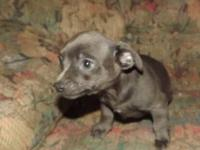 Chihuahua Male Puppies, CKC registered, theses are not
