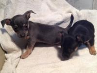 ACA registered chihuahua male puppies Black & tan males