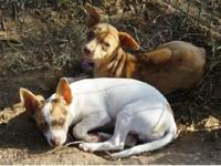 Male Chihuahua puppies CKC. Adult weight charting