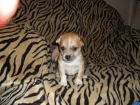 Only Two Male Chihuahua Puppies Left For Sale Available