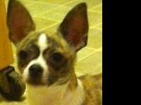 Gorgeous Flashy Marked Chihuahua male puppy with