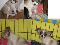 PUREBRED LONG COATED CHIHUAHUA, mother black/white,