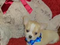 Chihuahua Male Pups, Short Coat Cuties, 8 weeks old,