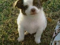 Male chocolate spotted on white long haired chihuahua,
