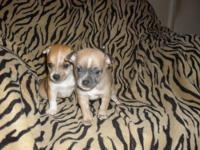 Chihuahua Male Puppies For sale. Puppy pad trained.