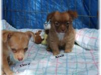 Chihuahua puppies. Family raised in our home. Mother is