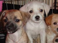 Chihuahua and Maltese mixed babies -- look more