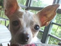 Chihuahua - Manito - Small - Adult - Male - Dog