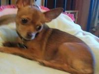 Chihuahua - Manny - Small - Adult - Male - Dog Pictures