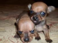 Chihuahua - Manuel - Small - Baby - Male - Dog Carmen