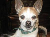 Chihuahua - Mason - Small - Young - Male - Dog Mason is