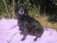 Chihuahua - Melody-- Senior Adoption Special! - Small -