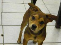 Chihuahua - Mercedes - Small - Young - Female - Dog