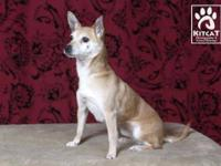 Chihuahua - Mia - Small - Adult - Female - Dog Mia is a
